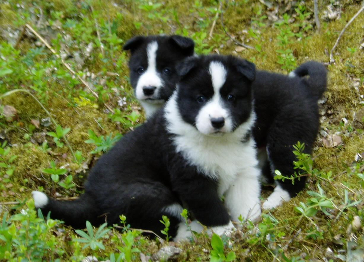 karelian bear puppies photo