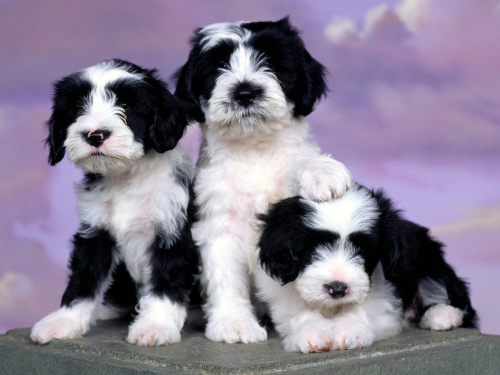 tibetan terrier puppies