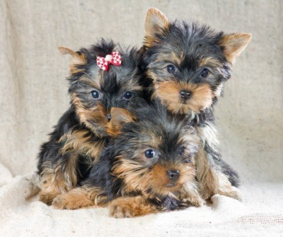 Researchbreedercom Find Yorkshire Terrier Puppies And Make Sure